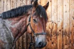 Hoofd van een paard wordt geschoten dat stock foto's