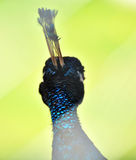 Hoofd van een pauw Stock Foto