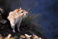 Hoofd van een rat stock foto's