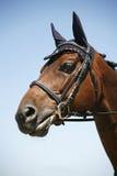 Hoofd van een renpaard op blauwe hemelachtergrond die wordt geschoten Royalty-vrije Stock Foto
