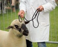 Hoofd van een schaap die van Shropshire door zijn manager op een kabelteugel worden geleid Royalty-vrije Stock Foto