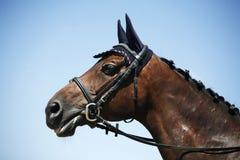 Hoofd van een sportief dressuurpaard dat wordt geschoten Royalty-vrije Stock Fotografie