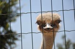 Hoofd van een struisvogel Stock Afbeeldingen