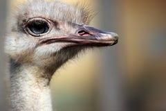 Hoofd van een struisvogel (Struthio-camelus) Stock Foto's
