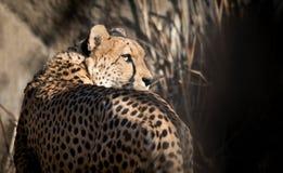 Hoofd van een waakzame jachtluipaard Aandachtig kijk van de grote kat Royalty-vrije Stock Fotografie