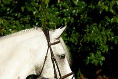 Hoofd van een wit paard met manen in een uitrusting in de straat op een zonnige dag royalty-vrije stock afbeelding