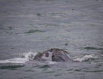 Hoofd van een Zuidelijke Juiste Walvis die met rente, Hermanus, Westelijke Kaap kijken Beroemde wijngaard Kanonkop dichtbij schil stock foto's