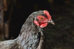 Hoofd van een zwarte kip met een rode kam op de achtergrond van een schuur royalty-vrije stock fotografie