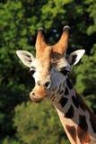 Hoofd van giraf Royalty-vrije Stock Foto's