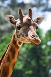 Hoofd van giraf stock afbeeldingen