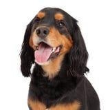 Hoofd van Gordon Setter Mix Breed Dog wordt geschoten dat Royalty-vrije Stock Afbeeldingen