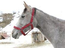 Hoofd van Gray Horse wordt geschoten dat royalty-vrije stock afbeelding