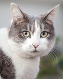 Hoofd van Grijze en Witte Cat Looking Anxious en Beklemtoond royalty-vrije stock foto