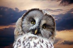 Hoofd van groot Gray Owl Royalty-vrije Stock Foto's