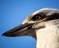 Hoofd van het Lachen Kookaburra met Intens Bruin Oog Royalty-vrije Stock Afbeeldingen