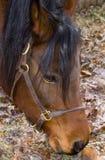 Hoofd van het Paard van de baai het Arabische Royalty-vrije Stock Afbeelding