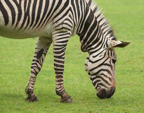 Hoofd van het weiden van Zebra Royalty-vrije Stock Fotografie