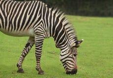 Hoofd van het weiden van Zebra Stock Afbeelding