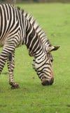 Hoofd van het weiden van Zebra Royalty-vrije Stock Foto's