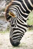 Hoofd van het weiden van Zebra Royalty-vrije Stock Afbeelding
