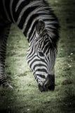 Hoofd van het weiden van Zebra stock foto