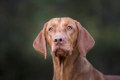 Hoofd van Hongaarse hondenhond Royalty-vrije Stock Foto's