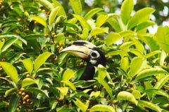 Hoofd van hornbillzitting op een fruitboom in zijn natuurlijk milieu Royalty-vrije Stock Foto