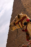 Hoofd van kameel Stock Foto's