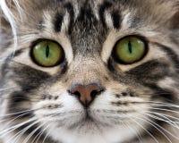 Hoofd van kat stock afbeeldingen