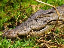Hoofd van krokodil Stock Foto's