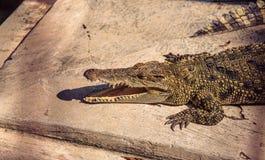 Hoofd van krokodil op een landbouwbedrijf Stock Foto's