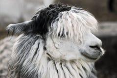 Hoofd van lama stock afbeelding