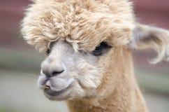 Hoofd van lichtbruine alpaca Stock Foto's