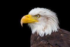 Hoofd van overzeese adelaar op zwarte achtergrond royalty-vrije stock afbeelding