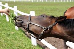 Hoofd van paard Stock Foto's