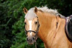 Hoofd van paard Stock Foto