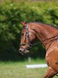 Hoofd van Paard wordt geschoten die Dressuur doen die Stock Fotografie