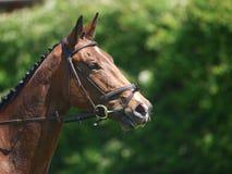 Hoofd van Paard wordt geschoten die Dressuur doen die Royalty-vrije Stock Afbeelding