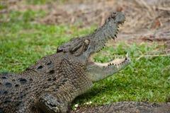 Hoofd van reusachtige krokodil met stekelige tanden, wijd open mond stock afbeeldingen