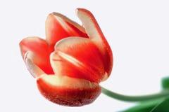 Hoofd van rode tulp op witte dichte omhooggaand als achtergrond Royalty-vrije Stock Fotografie