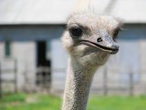 Hoofd van struisvogel Royalty-vrije Stock Afbeelding