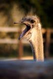 Hoofd van struisvogel Stock Afbeeldingen