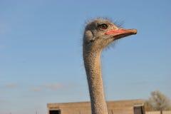 Hoofd van struisvogel Royalty-vrije Stock Afbeeldingen
