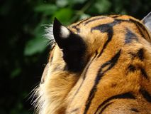 Hoofd van tijger in dierentuin in Nuremberg in Duitsland stock afbeelding
