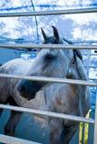 Hoofd van wit paard Stock Foto