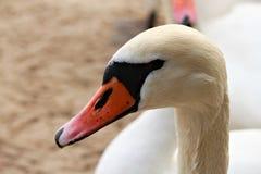 Hoofd van witte zwaan Stock Foto