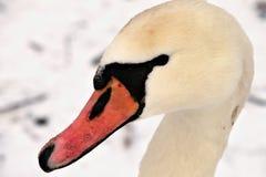 Hoofd van witte zwaan Royalty-vrije Stock Foto's