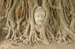 Hoofd van zandsteen Boedha in de wortels van de bodhiboom Stock Foto
