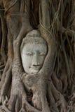 Hoofd van zandsteen Boedha in de wortels van de bodhiboom Stock Afbeeldingen