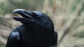 Hoofd van zwarte kraai die in bos Gemeenschappelijk raaf roterend hoofd gillen in hout stock video